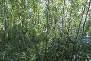 Willow biomass crop grown in Orkney